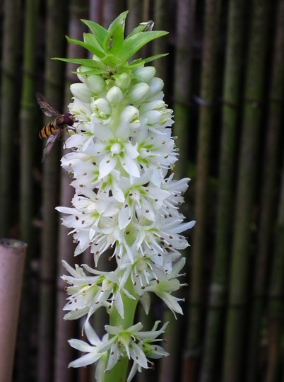 Eucomis autumnalis (Eucomis autumnalis)