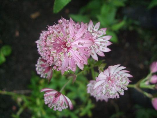 Astrantia 'Buckland' (Astrantia major (Masterwort))