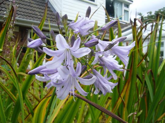 Agapanthus 'tarka' in full flower (Agapanthus 'Tarka')