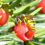 wasps are fascinating (Taxus baccata (Yew))