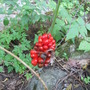 Seeds of the Jack-In-The-Pulpit ripening to bright red.