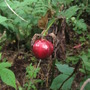 The metalic red of the Red Trillium seed pod.