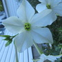 White nicotiana...checkout the smiley face!
