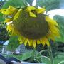Lone Sunflower..head so huge it can no longer follow the sun.