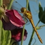 Dragonfly- summer 2007