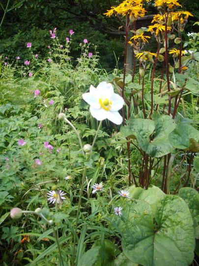 Anemone Honorine jobert (white) (Japanese Anemone)