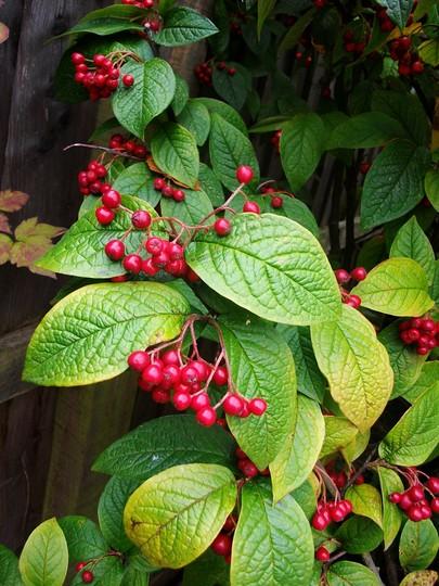 Cotoneaster Cornubia (Cotoneaster cornubia)