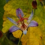 "Tricyrtis ""Harlequin"" (Tricyrtis formosana (Toad Lily))"