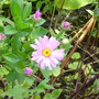 Aster amellus 'Pink Zenith'