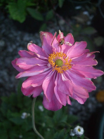 Anemone x hybrida 'Pretty Lady Julia' (Anemone x hybrida (Japanese anemone))