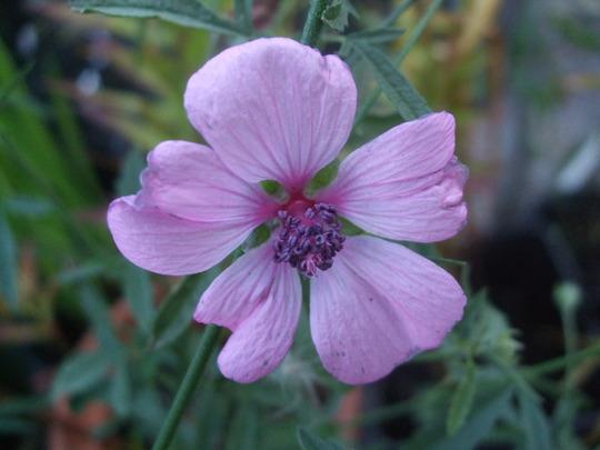 Althaea cannabina (Althaea cannabina)
