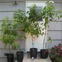 Deppea splendens, Seedlings