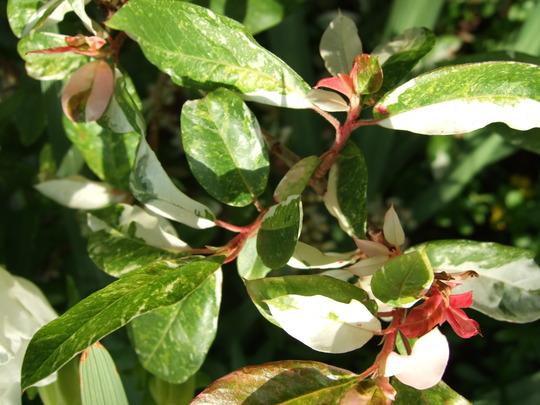 Photinia davidiana 'Palette' leaves. (Photinia davidiana)