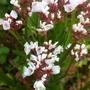 Sea Lavender 28-08-11