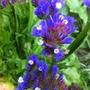 Sea Lavender Blue 28-08-11