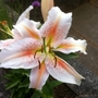 Scented Lily 28-08-11
