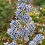 Ceanothus Arboreus (ceanothus arboreus)