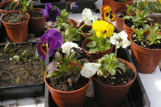 PANSIES MIXED