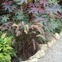 A garden flower photo (Pennisetum setaceum (African Fountain Grass))