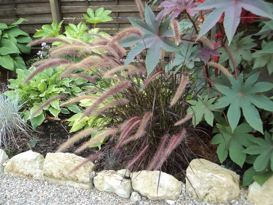 DSC03315 (Pennisetum setaceum (African Fountain Grass))