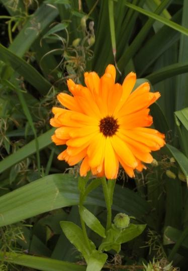 Calendula (Pot Marigold) 28 8 2011  (Calendula)