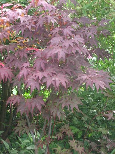 Acer palmatum (Acer palmatum)