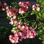 Mountain Laurel - Little Linda
