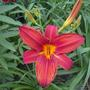 First Hybrid Daylily to open - Unknown