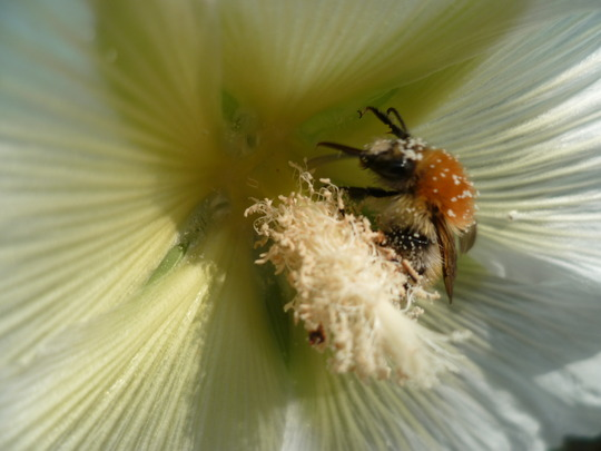 Hollyhock and (another) bee (Alcea biennis)