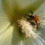 Hollyhock and (another) bee (Alcea biennis)