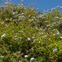 Plumbago auriculata - Cape Plumbago (Plumbago auriculata - Cape Plumbago)
