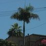 Roystonea regia - Royal Palm in San Diego, CA. (Roystonea regia - Royal Palm)