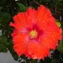 Hibiscus rosa-sinensis - Orange Tropical Hibiscus (Hibiscus rosa-sinensis - Orange Tropical Hibiscus)