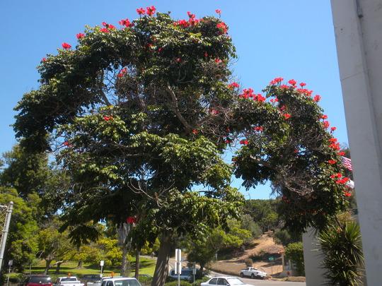 Spathodea campanulata - African Tulip Tree (Spathodea campanulata african Tulip tree)