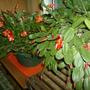 Christmas and Easter Cactus