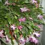 Another Christmas cactus now in bloom