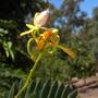 Tamarindus indica - Tamarind Flowering in Balboa Park, San Diego, CA. (Tamarindus indica - Tamarind Tree)