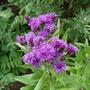 Vernonia Gigantea (Ironweed) (vernonia)