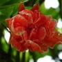 Punica granatum flore plena (Punica granatum flore plena)