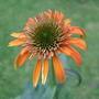 Echinacea_hot_papaya_