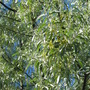 Russian Olive -- in bloom
