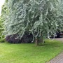 Pyrus salcifolia (Pyrus salcifolia)