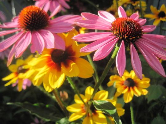 august blooms (echinacea)