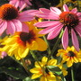 august blooms (echinacea)