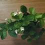 Jasminum sambac (Arabian Jasmine)