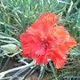 Dianthus_-_1.jpg (Dianthus)