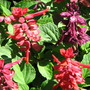 Early Spring in N.E. Downunder - Salvia splendens 'Dusky Hues' blooming (Salvia splendens)