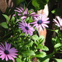 Early Spring in N.E. Downunder - Osteospermum 'Ecklonis Mix' (Osteospermum ecklonis (Blue-and-white Daisybush))