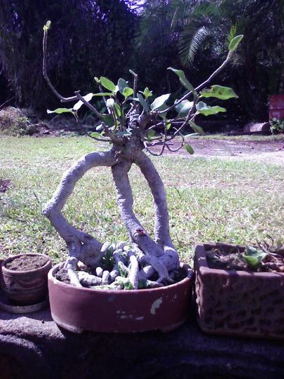 tri-stem ficus !! (Ficus benjamina)