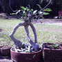 tri-stem ficus !! (Ficus benjamina)